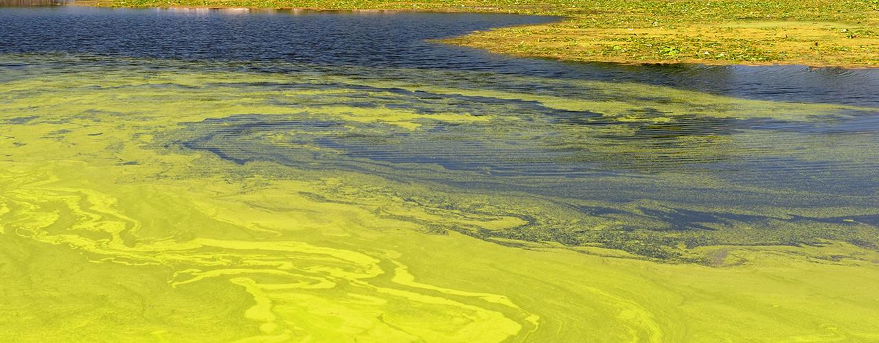 Attention aux algues bleues dans nos bassins !